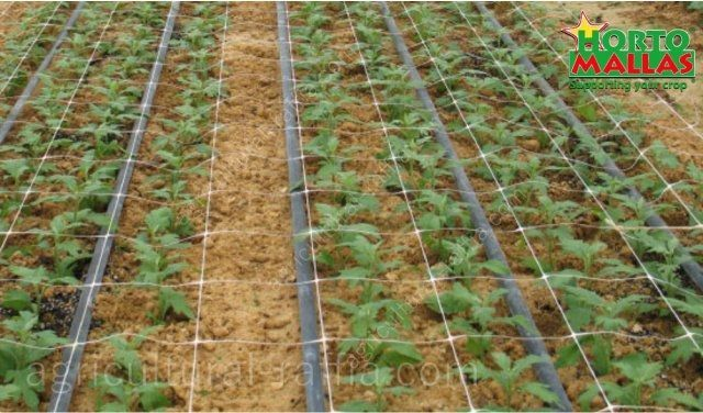 Carnations shoots cultivation with fertigation and raffia net training