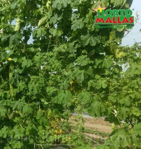 Espalier of Bitter melon plantation growing upright in raffia trellis netting