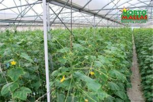 cropfield in greenhouse using vertical support system