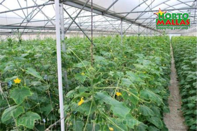 Greenhouse cucumber production, distributed vertically with trellis netting support system