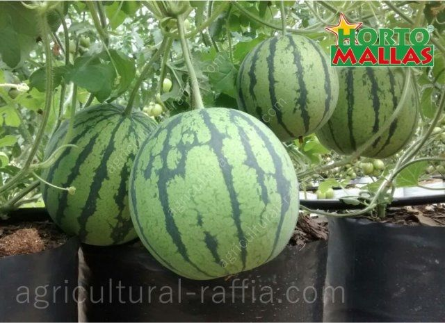 Hydroponic watermelons fruits, in vertical production with trellis netting instead of agricultural raffia