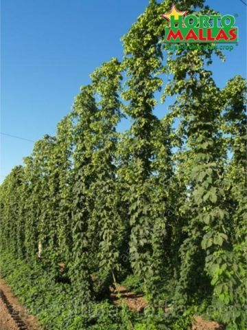 Plants supported in high vertical hop production with hortomallas trellis netting