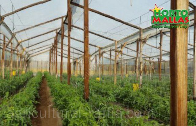 Tomato greenhouse production without agricultural raffia using trellis net training system
