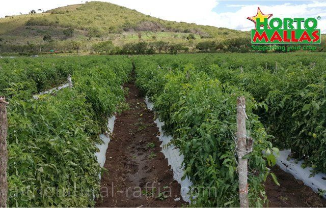 Tomatoes plot, tutoring with hortomalla mesh trellis, instead of agricultural raffia