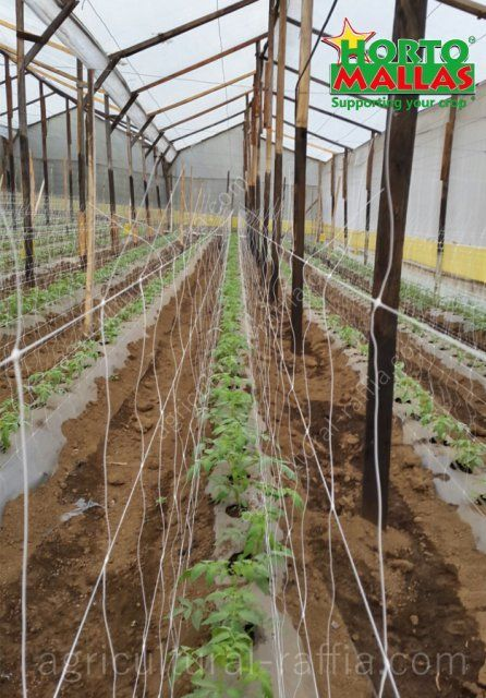 Double wall of raffia for trellising for espalier tomatoes in greenhouse production