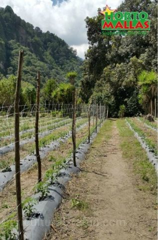Field installation of support system with raffia for tomato trellising for tomatoes cultivation, instead of agricultural raffia