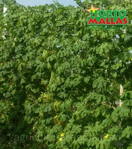 Organic bitter melon production growing distributed vertically in trellis net