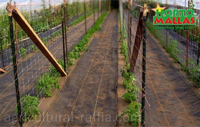 Rows of cultivation tomatoes espalier in production plot with ground cover