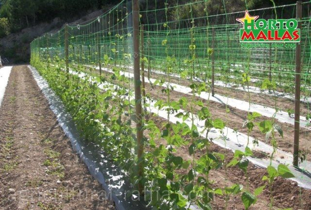 Sweet pea crop growing on hortomallas trellis netting support system