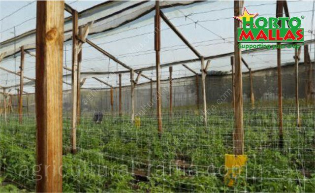 Tomatoes cultivation greenhouse with trellising net support system without raffia for tomato