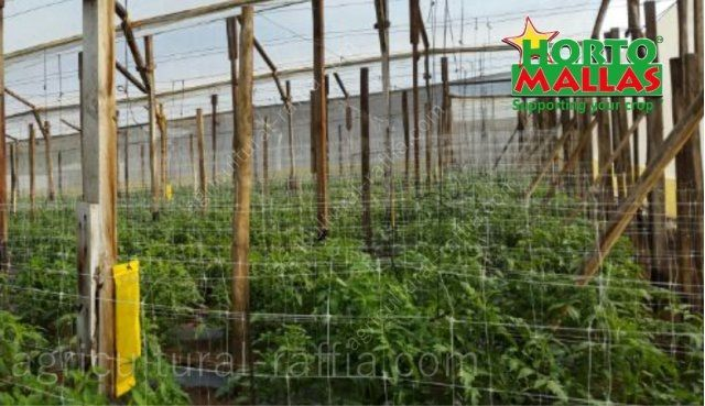 Trellis net support system in greenhouse of tomatoes production