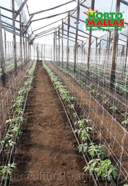 Trellis netting espaliers and between row spacing in tomatoes production greenhouse