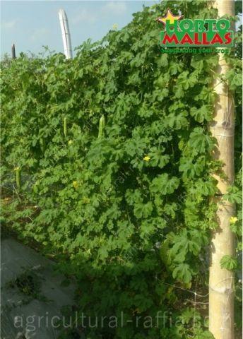 Vertical bitter melon plants wall growing upright on hortomallas trellis net support