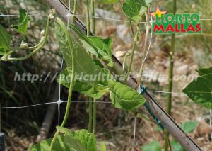Trellis netting and bean plant