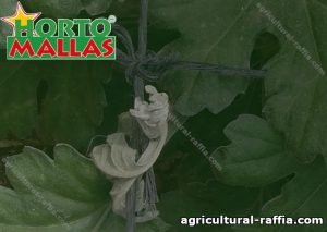 Agricultural raffia placed on plants